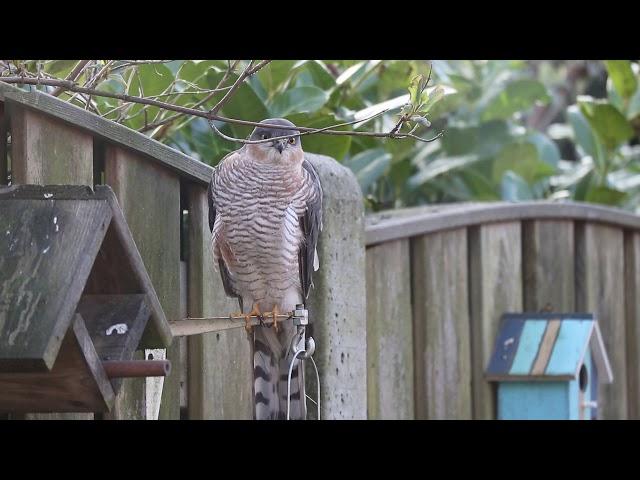 Vogels spotten - Sperwer in de tuin
