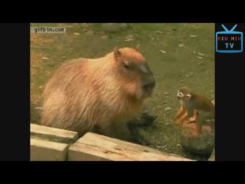 Funny Animal Mating - Monkeys Can Be Jerks - Best Funny Videos Compilation