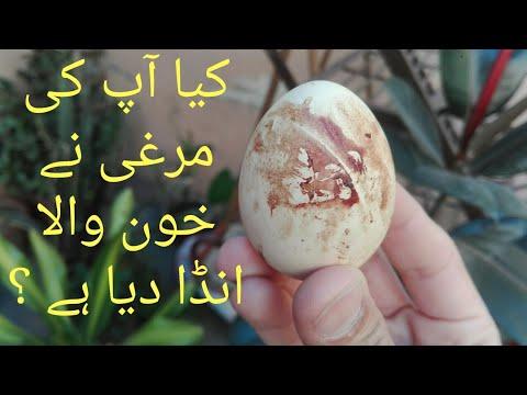 , title : 'Khoon wala anda Q dati murghi    why hen lays blood shell egg