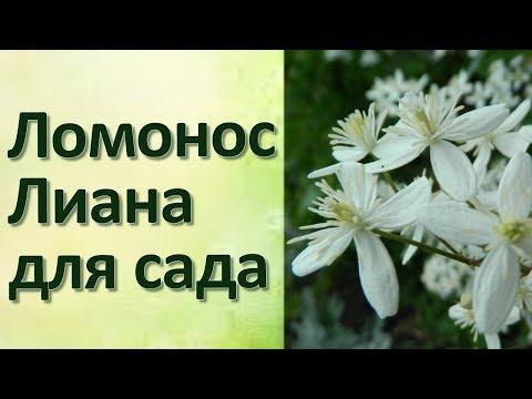 Клематис Ломонос манчжурский Прекрасное растение для беседки