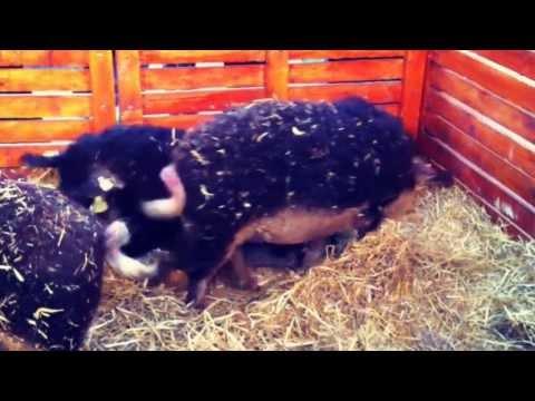 , title : 'マンガリツァ豚、ハンガリーの食べる国宝