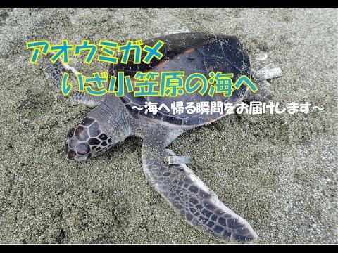 アオウミガメ。いざ小笠原の海へ!!