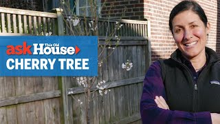 How to Plant a Cherry Tree   Ask This Old House
