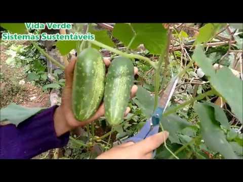 , title : 'Como plantar pepino, colheita em 65 dias com dicas de adubação e poda.