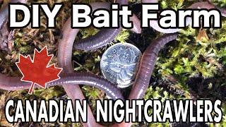 Raising Canadian Nightcrawlers At Home   DIY Dew Worm Farm