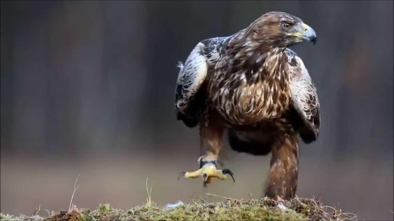 Беркут (Aquila chrysaetos) (фото + видео)