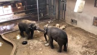 Zoo to You Virtual Safari: Asian Elephants Jake and Chuck