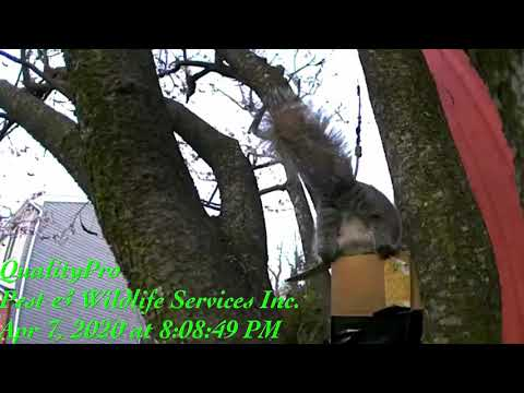 Video How to get squirrels out of house