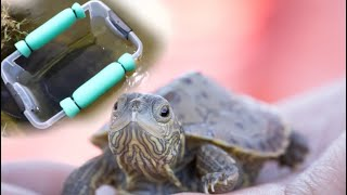 FISH TRAP Catches BABY BROWN TURTLE (SO CUTE)
