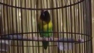 Ngerii!! Lovebird Konslet Kepala Sengkleh