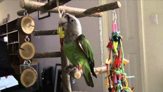 Truman Cape Parrot - Playing Tetherball With Toy