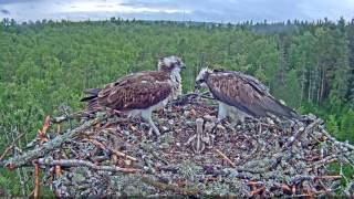 Osprey Calls for Aerial Delivery, Feasts, and Feeds Chicks