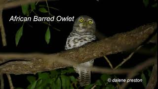African Barred Owlet call