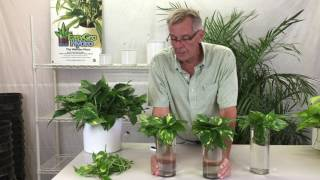 Propagating Pothos from Cuttings