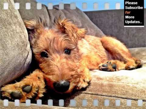 Cute Terrier Breed Collection Of Dogs Picture Ideas | Irish Terrier Puppy Mp3