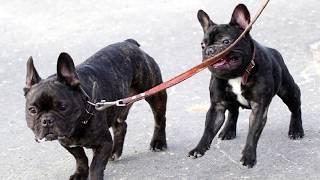 Самые Глупые Породы Собак в Мире ТОП 10 Дрессировка Пёс Бульдог Мастиф Чау-чау Пекинес Ши-тцу Борзая