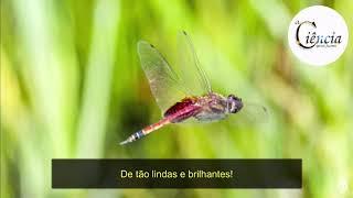 Conheça um pouco sobre as jóias voadoras, libélulas!