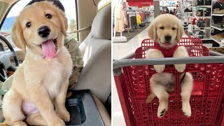 Funniest & Cutest Golden Retriever Puppies #39- Funny Puppy Videos 2019