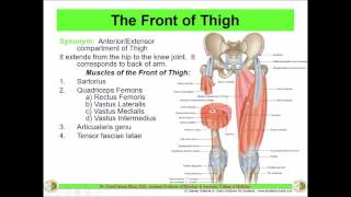 Anatomy of the THIGH || Anterior compartment || Front of Thigh || Dr. Yusuf ||