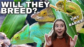 BREEDING MY CHAMELEONS! | Enclosure Upgrades, Updates And Breeding projects