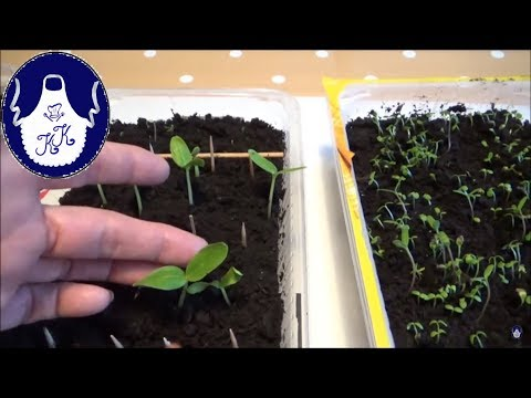 Super Methode!!! Samen aussäen und mit kochendem Wasser übergießen!!!