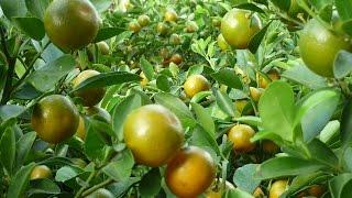 Good Morning Kuya:  Health And Beauty Benefits Of Calamansi