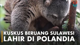43+ Gambar Hewan Kuskus Beruang Gratis