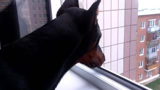 Доберман Хан смотрит в окно.