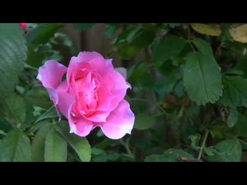 A Martin Frobisher Rose