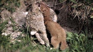 How a weasel hunts