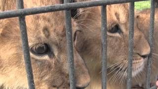 preview picture of video 'Baby lion cubs at the Bear Path Acres'