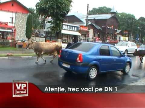 Atenţie, trec vaci pe DN1