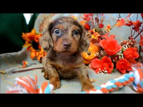 Bailey AKC Chocolate Dapple Male LH Miniature Dachshund Puppy for sale