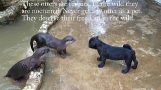 Pug puppy meets otters