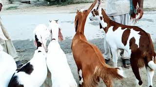 RajanpuriGoats - ฟรีวิดีโอออนไลน์ - ดูทีวีออนไลน์ - คลิป