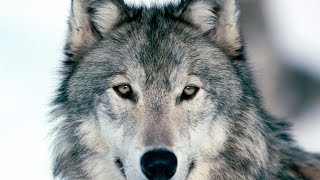U2 - Raised By Wolves (Official Fan Video)