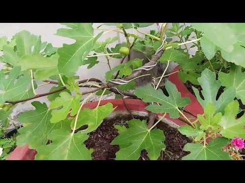 Bonsai Sung Mỹ từ Pháp sau khi trồng 3 tháng tại Trà Vinh