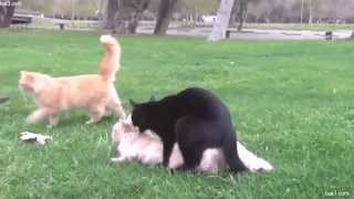 Mating10-Cats Mating  Breeding   Travel and golden business around Mating Animals