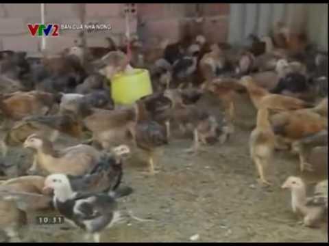 Thực hành tốt và an toàn sinh học trong chăn nuôi gà thịt
