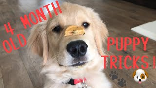 SUPER SMART PUPPY | 4 MONTH OLD GOLDEN RETRIEVER PUPPY