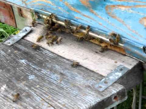 Первый взяток. Beekeeping.