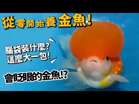 金魚居然也有這麼多學問