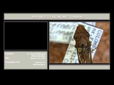 Cicadellidae under the microscope – species of <em>Homalodisca</em>