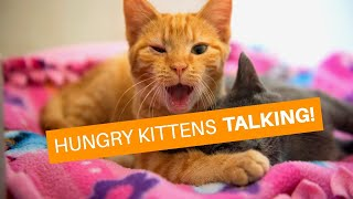 Hungry kittens have a lot to day!