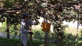 たらみファームキウイフルーツ収穫作業