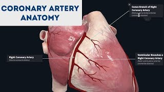 Coronary Artery Anatomy (3D Anatomy Tutorial)