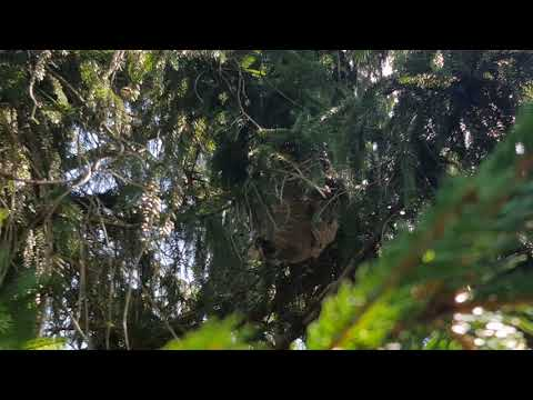 Recently, I was sent to a customer's home in Shrewsbury, NJ to remove an active hornet's nest that had formed in a large fir tree. When wasps or hornets build nests outside, sometimes they can just be left alone since when temperatures drop in the fall, the colony dies off except for the queen that overwinters in a protected location to start the cycle all over again in the spring. However, in this case, the tree was extremely close to the home — only about five feet away — in a high traffic area. In these cases, the nest poses a hazard to the home's occupants and needs to be treated. Social wasps and hornets that live in colonies are territorial and can be aggressive if they perceive that their nest is being threatened. For those who are highly allergic to their venom, a sting can be life-threatening. Upon arrival, I immediately saw that the removal of this nest would be challenging because of where it was situated in the tree. the nest was located in the branches about 8 feet up in a way where it was difficult to access the entry and exit hole of the nest with my telescopic extension pole that has an attached sprayer. This pole allows me to treat the nest while still staying a safe distance from the insects that often become highly aggressive once their activities are disrupted. After experimenting with different positions, I managed to find an angle for my pole to reach the nest that was partially blocked by the tree branches. I applied an aerosol that quickly knocks down most of the hornets in the nest. Of course, there can always be hornets deep in the nest or out foraging and returning that avoided the product that are ready and able to sting. After applying this product, I wait for the hornet activity to slow down. Once the nest appeared inactive, I removed the nest from the supporting tree limb and bagged it so I could take it with me. To prevent the hornets from rebuilding the nest, I treated the area where the former nest was build with a long-lasting resi