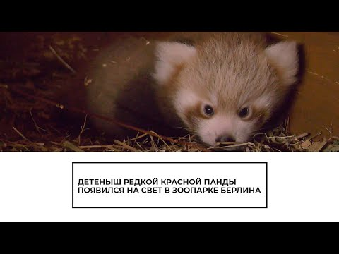 В зоопарке Берлина появился детеныш красной панды