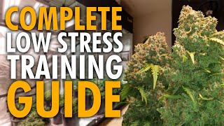 Grow BIGGER Nugs Using Low Stress Training (Complete Guide)