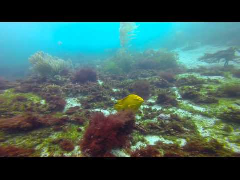 La Jolla Cove   Kelp Dive